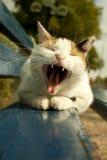 Gatto di sbadiglio su un banco Fotografia Stock Libera da Diritti