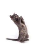Gatto di Scaredy su una priorità bassa bianca fotografie stock libere da diritti