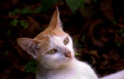 Gatto di sguardo curioso Immagine Stock
