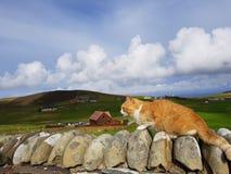 Gatto di Shetland Fotografia Stock