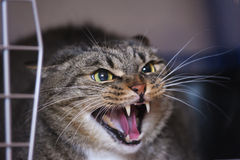 Gatto di sibilo Fotografia Stock Libera da Diritti