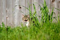 Gatto di sibilo Fotografia Stock
