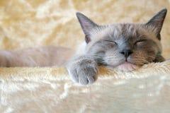 Gatto di Sleepin Fotografie Stock