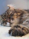 Gatto di sonno Fotografia Stock Libera da Diritti