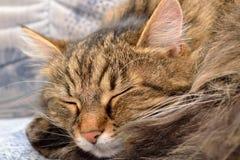 Gatto di sonno - primo piano Fotografie Stock