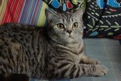Gatto di soriano Fotografie Stock