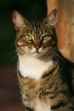 Gatto di soriano Fotografia Stock