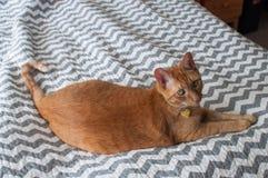 Gatto di soriano arancio grasso che indica alla luce naturale Immagini Stock Libere da Diritti