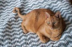 Gatto di soriano arancio grasso che indica alla luce naturale Fotografie Stock
