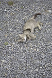 Gatto di soriano in cattivo stato Fotografie Stock