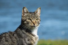 Gatto di soriano comune che cerca un obiettivo Fotografia Stock