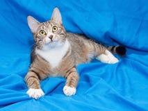 Gatto di soriano con gli occhi di giallo che si trovano tranquillamente Fotografia Stock