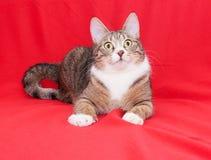 Gatto di soriano con gli occhi di giallo che si trovano tranquillamente Fotografia Stock Libera da Diritti