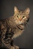 Gatto di soriano con gli occhi gialli Immagine Stock