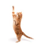 Gatto di soriano dello zenzero che raggiunge su su Fotografia Stock Libera da Diritti