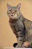 Gatto di soriano di Shorthair dell'europeo Fotografie Stock Libere da Diritti