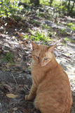 Gatto di soriano fuori Immagine Stock