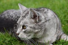 Gatto di soriano grigio che guarda nell'erba Fotografia Stock