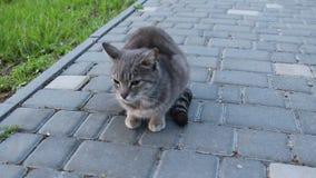 Gatto di soriano grigio della via che si siede sulla terra nel parco e che esamina la macchina fotografica archivi video