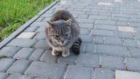 Gatto di soriano grigio della via che si siede sulla terra nel parco e che esamina la macchina fotografica stock footage