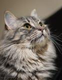 Gatto di soriano lungo dei peli Fotografia Stock