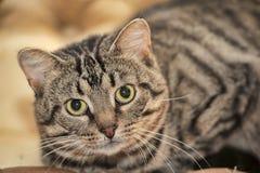 Gatto di soriano sveglio Immagini Stock Libere da Diritti