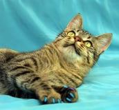 Gatto di soriano sveglio Fotografie Stock Libere da Diritti