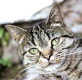 Gatto di soriano tozzo del naso Fotografia Stock Libera da Diritti