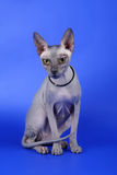 Gatto di Sphynx Fotografie Stock