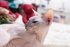 Gatto di Sphynx Immagini Stock Libere da Diritti