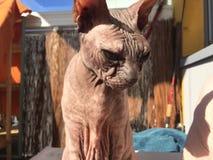 Gatto di Sphynx Immagine Stock