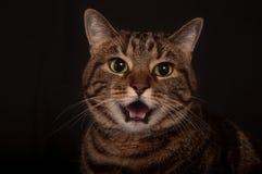 Gatto di tabby adulto arrabbiato Fotografia Stock Libera da Diritti