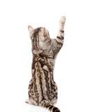 Gatto di tabby allegro Vista posteriore Isolato su priorità bassa bianca fotografie stock