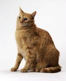Gatto di Tabby arancione Fotografia Stock