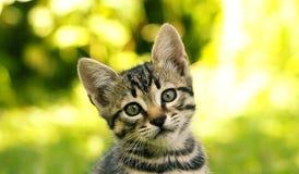 Gatto di Tabby che esamina la macchina fotografica immagini stock