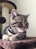 Gatto di Tabby che esamina la macchina fotografica Fotografia Stock