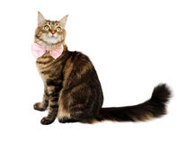 Gatto di Tabby con l'arco Fotografie Stock Libere da Diritti