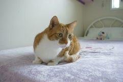 Gatto di tabby dello zenzero dell'animale domestico Immagini Stock