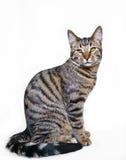 Gatto di tabby di seduta dello scombro Fotografia Stock