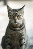 Gatto di Tabby esterno Immagini Stock
