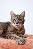 Gatto di Tabby grigio, Polydactyl Fotografia Stock