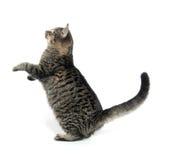 Gatto di tabby sveglio Fotografia Stock