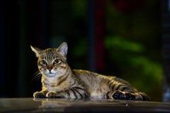 Gatto di tabby sveglio Fotografia Stock Libera da Diritti