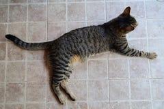 Gatto di tigre che si trova su un pavimento piastrellato, da sopra Fotografia Stock