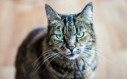 Gatto di tigre con gli occhi verdi che sembrano scontrosi Immagine Stock Libera da Diritti