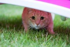 Gatto di tigre rosso Fotografia Stock Libera da Diritti