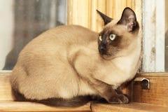 Gatto di Tonkinese Fotografia Stock