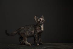 Gatto di Tortoisehell Fotografia Stock Libera da Diritti