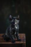 Gatto di Tortoisehell Fotografia Stock