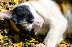 Gatto di tricromia di sonno Immagine Stock